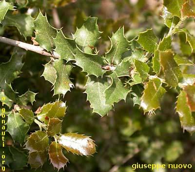 Argonauti querce for Quercia sempreverde